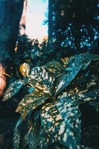 leaves of aucuba japonica