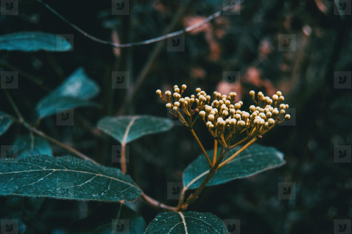 unopened flowers of viburnum tinus