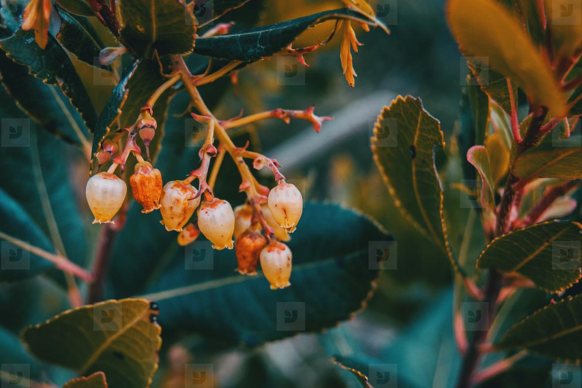flowers of arbutus unedo