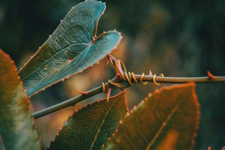 smilax aspera leaf climbing plant