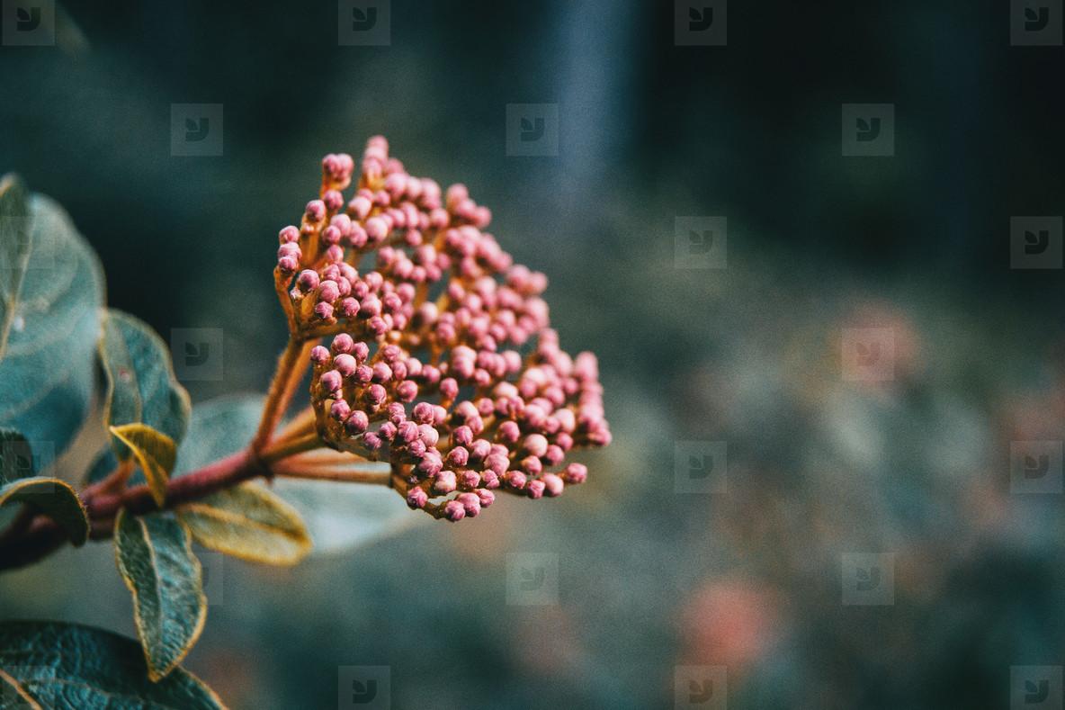 Inflorescence of viburnum tinus