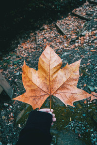 hand holding a fallen leaf of platanus on the mountain