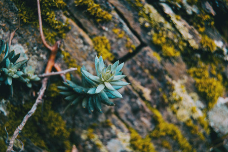 Sedum plant in the wall of a stone wall in the mountain