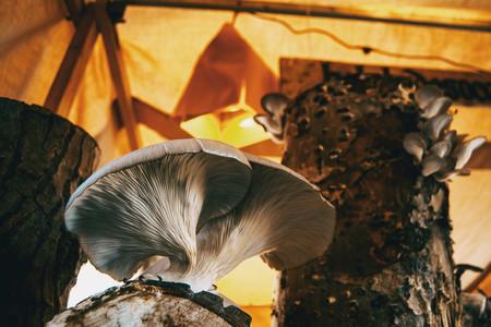 Mushrooms grown in medieval market of Vic