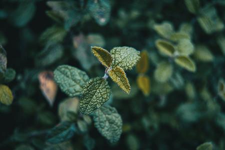 leaves of the cistus salviifolius plant in the mountain