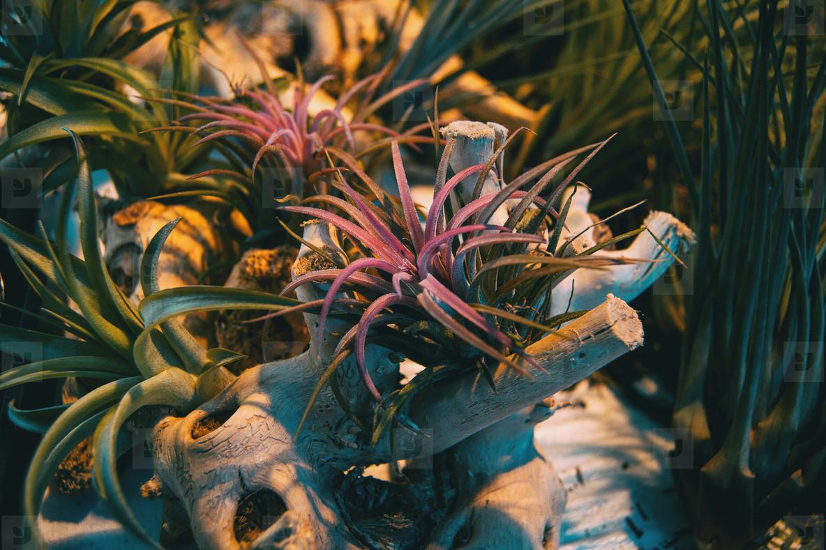 Aerial plant tillandsia ionantha