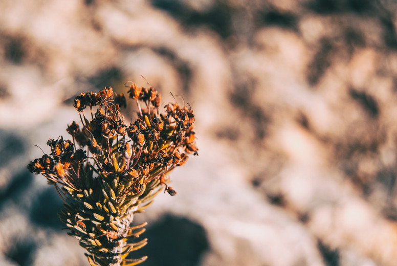 Close up of erica multiflora dried flowers in nature