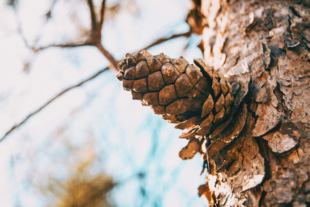 close up of a pine cone in the bark of the trunk of a pinus