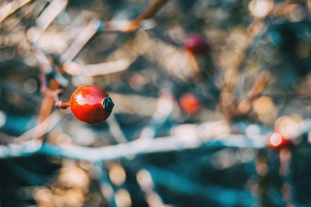 red fruit of rosa canina
