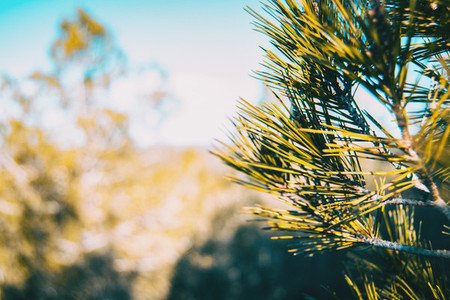 Pine needles in the nature