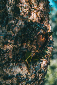 araucaria trunk with some loose leaves