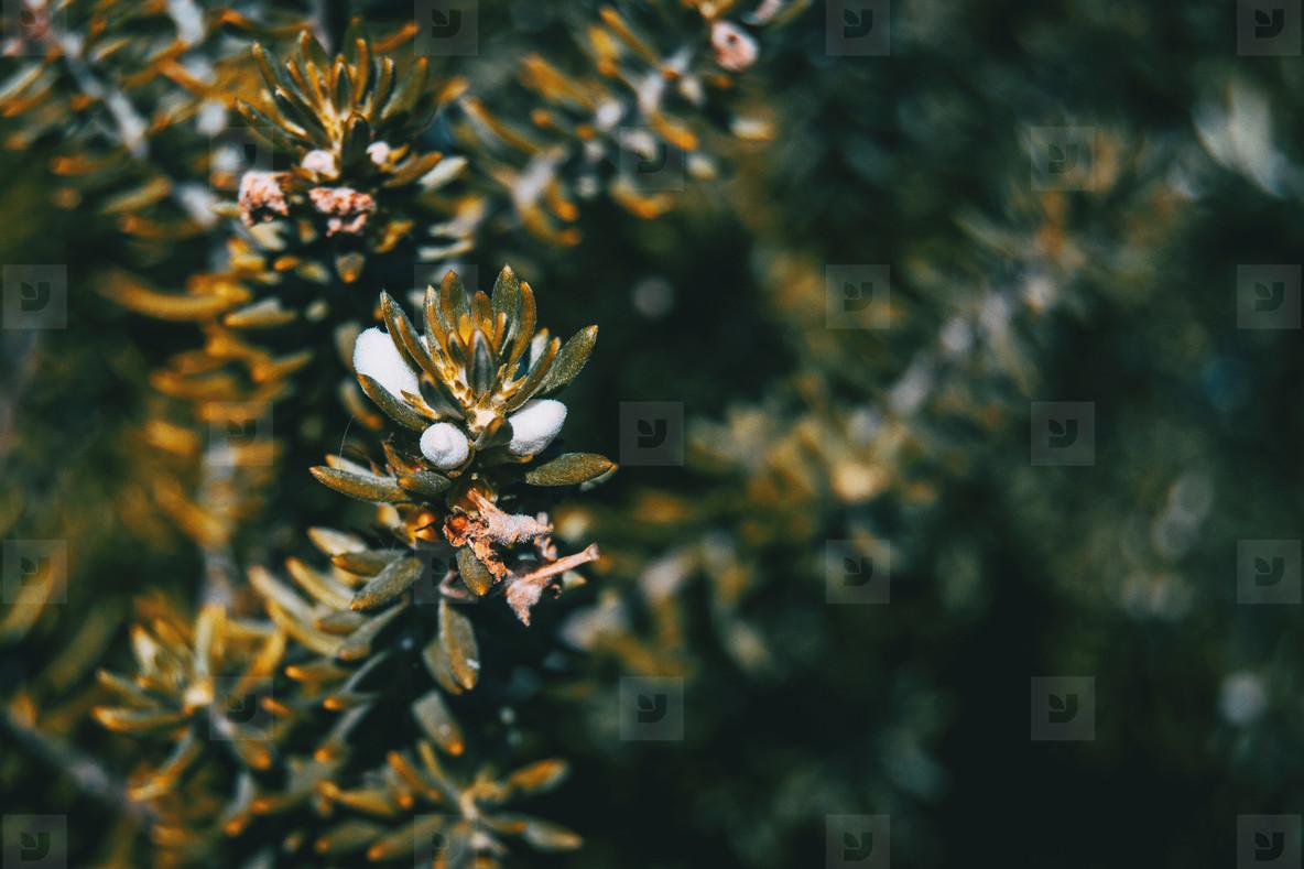 white flowers of westringia fruticosa