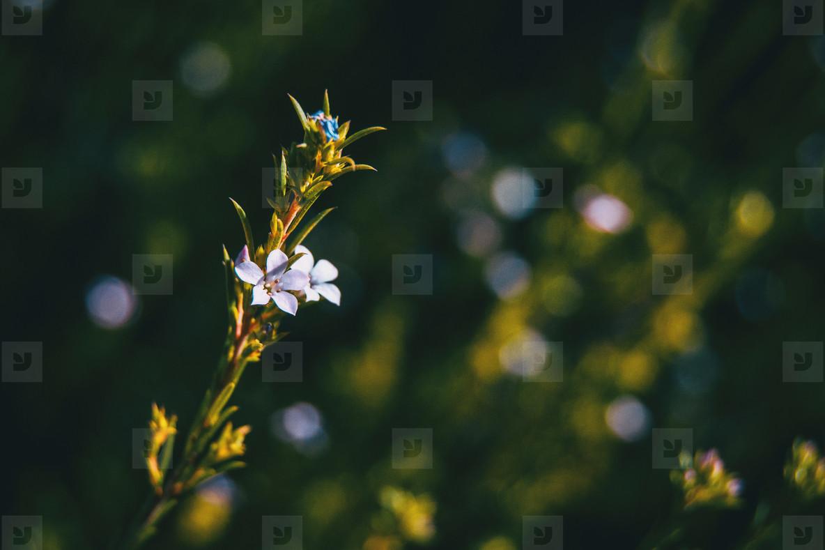 Small white flowers of coleonema pulchellum