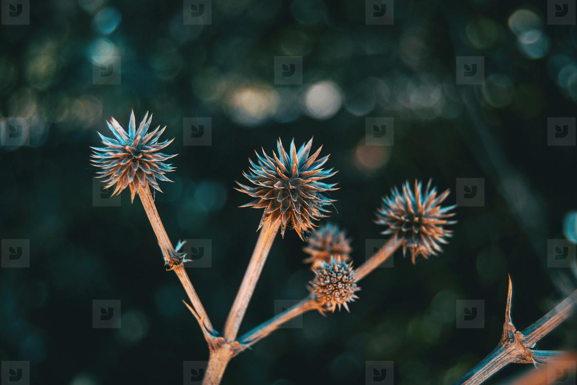 round and dry fruit of eryngium yuccifolium in nature