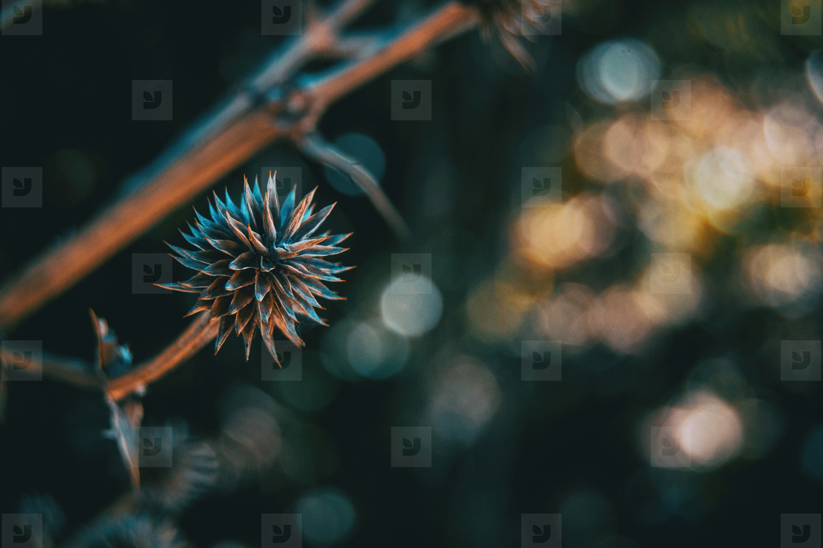 round and dry fruit of eryngium yuccifolium in nature