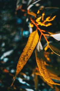 orange leaves of acacia iteaphylla