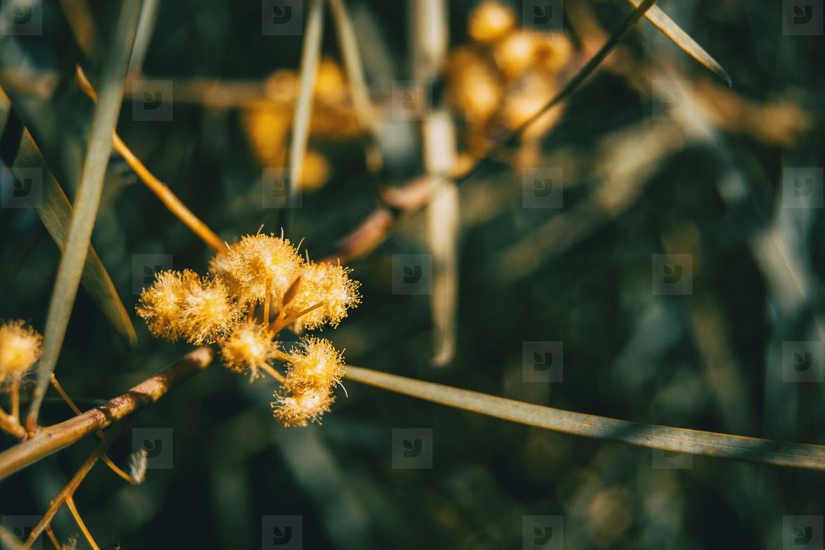 Photos Yellow Acacia Iteaphylla Flowers Youworkforthem