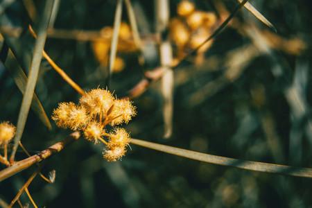 Yellow acacia iteaphylla flowers