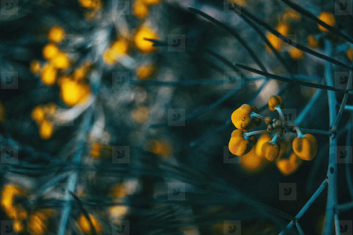 Close up of yellow flowers of senna artemisioides