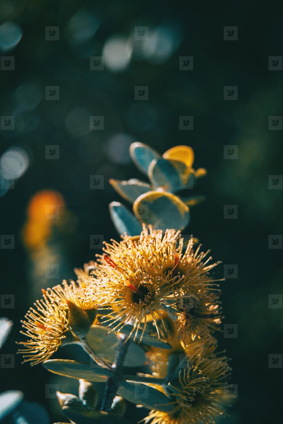 Photos Yellow Flowers And Gray Leaves Of Eucalyptus Kruseana
