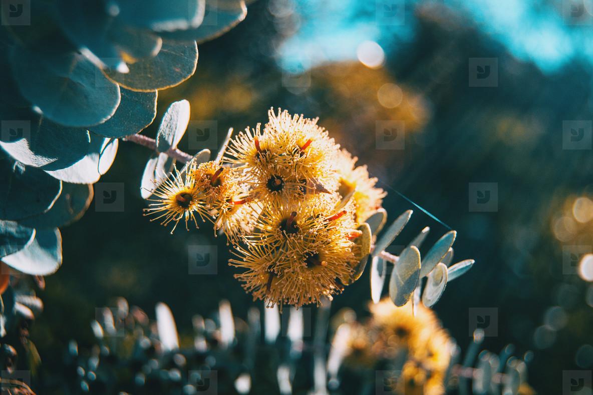 Yellow flowers and gray leaves of eucalyptus kruseana