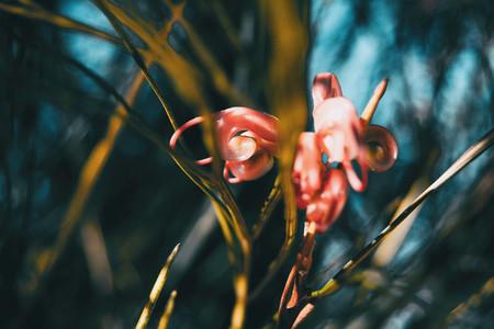 roses flowers of grevillea