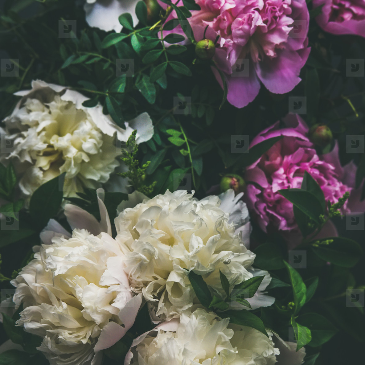 Photos White And Pink Peony Flowers Over Dark Background Square Crop Youworkforthem