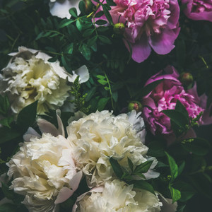 White and pink peony flowers over dark background square crop