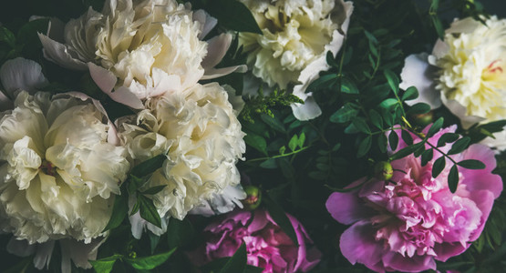 White and pink peony flowers over dark background