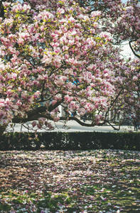 Blooming manolia tree and fallen petals on the ground