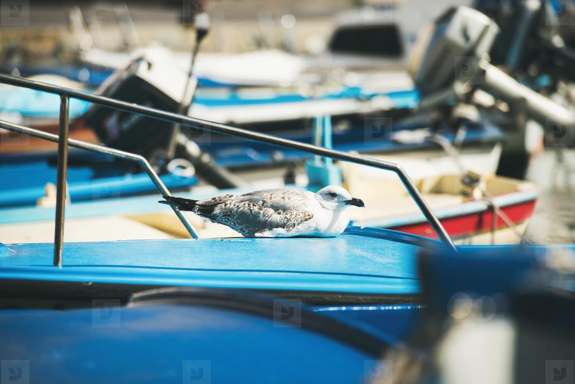 Seagull sitting on blue boat sundeck in Piran marina