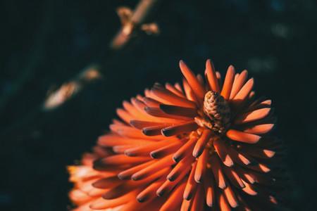 Intense red flower of ferocious aloe in sunlight