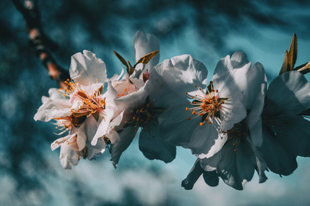 White flowers on the branch of a tree with blue sky background