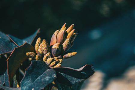 Leaves and flower of berberis aquifolium