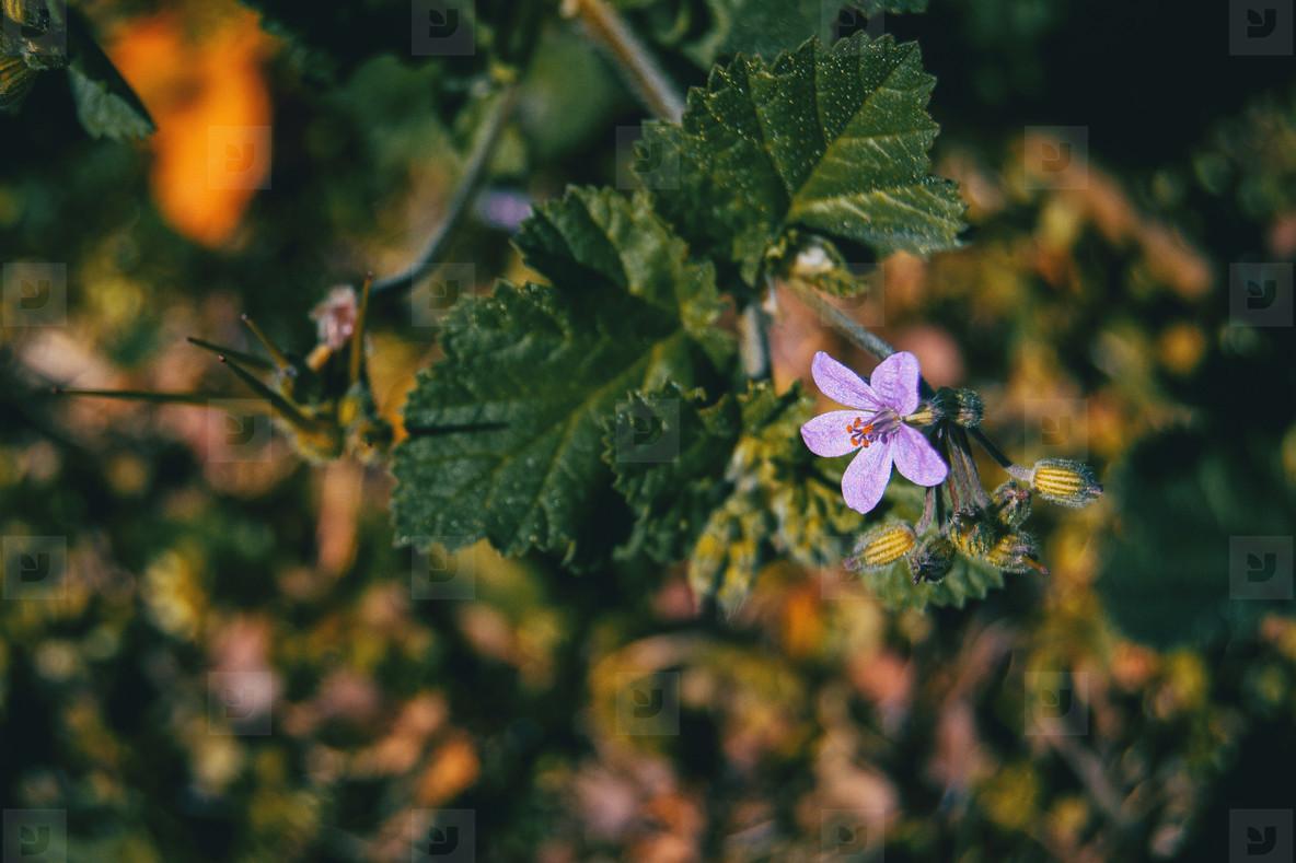 Small lilac flower of erodium malacoides