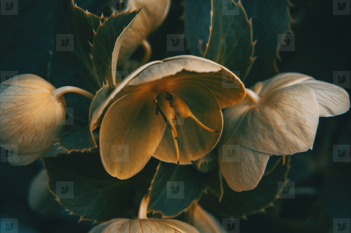 Orange and yellow helleborus viridis flowers in the nature