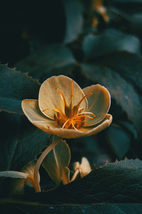Orange and yellow helleborus viridis flowers in the nature