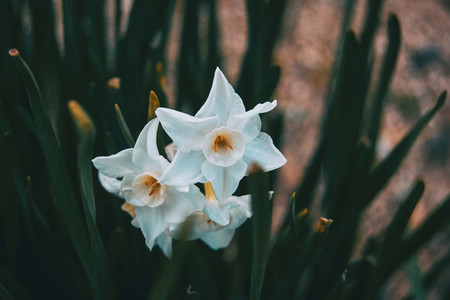 close up of white flowers of narcissus dubius