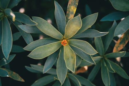 Succulent plant of euphorbia balsamifera