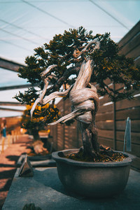a bonsai with a twisted trunk in an exposure
