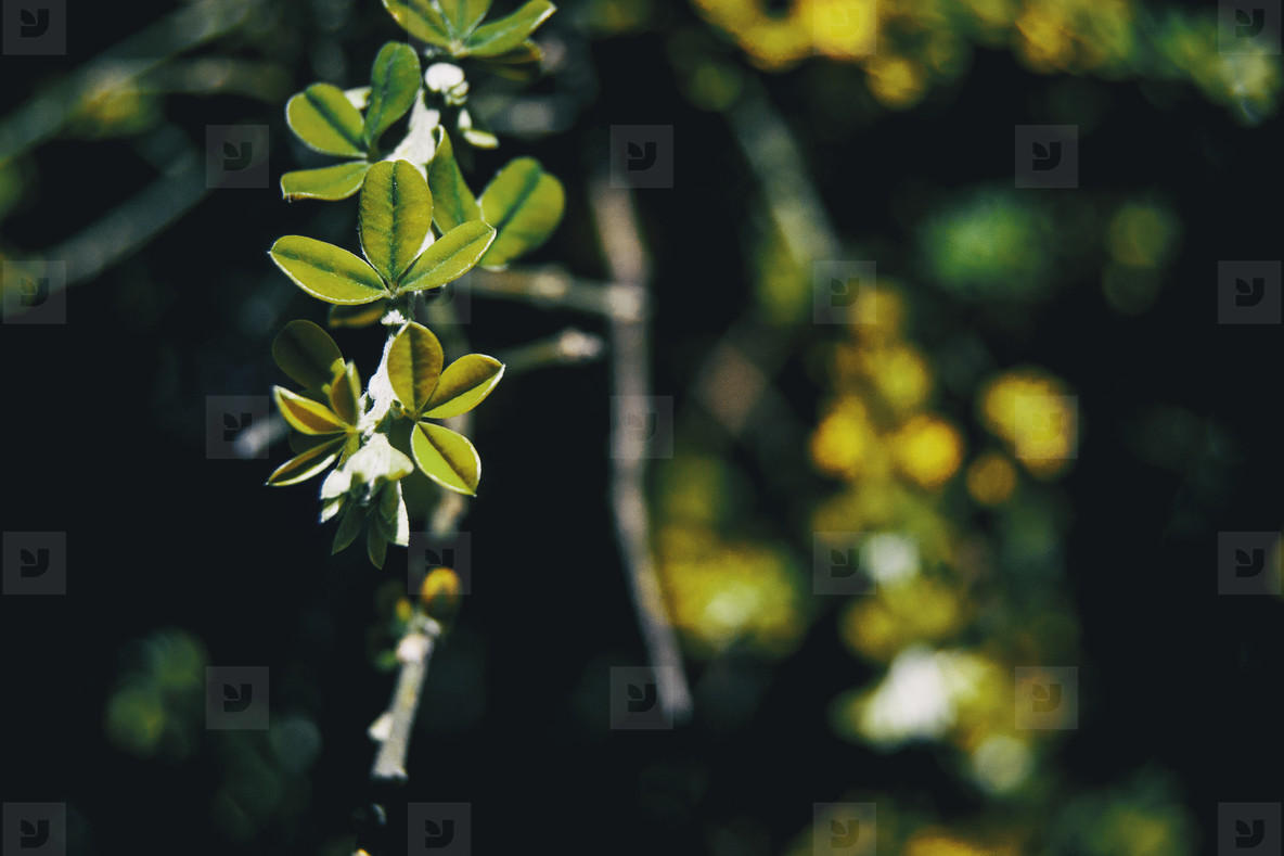 Branch with leaves of teline canariensis in the nature