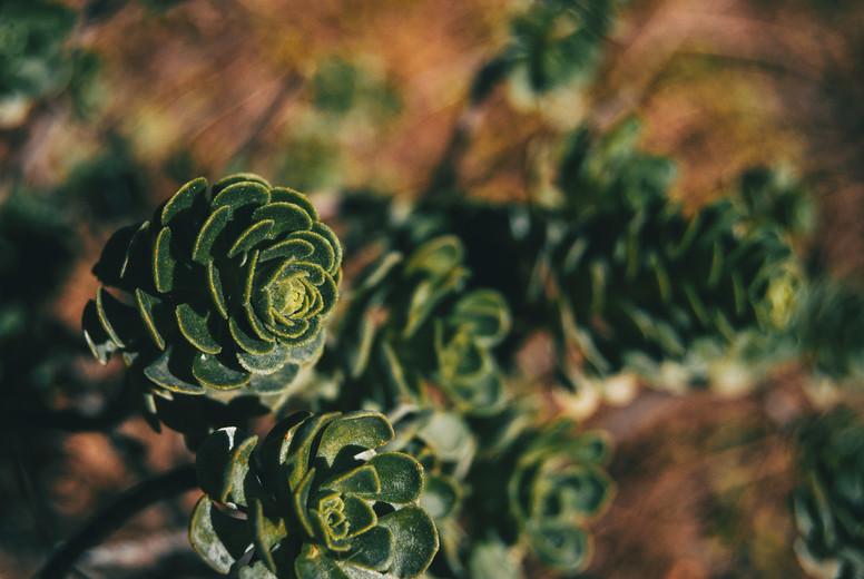 Succulent plants of aeonium spathulatum