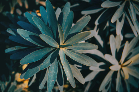 Leaves of euphorbia balsamifera in nature i