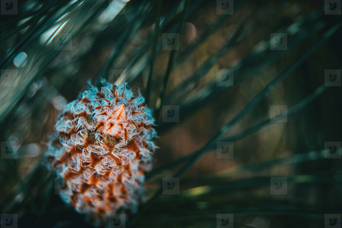 Pineapple pine canariensis with leaves out of focus