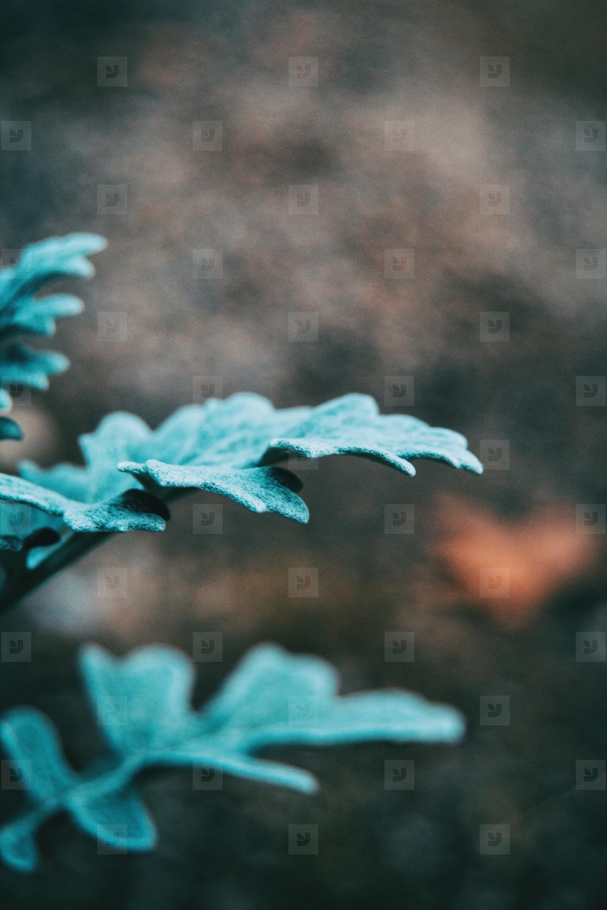 Close up of bluish gray leaves of cineraria senecio