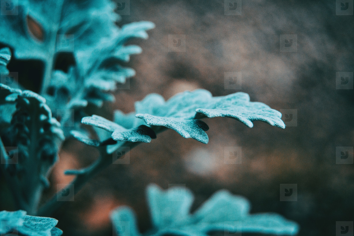 Close up of bluish gray leaves of cineraria senecio