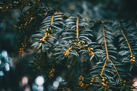 Close up of branch of Baccata taxus with small fruits