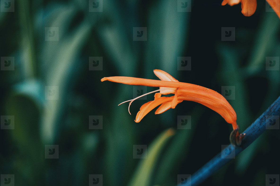 close up of an isolated red flower of salvia elegans