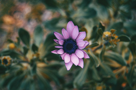 Close up of lilac flower of osteospermum ecklonis in nature