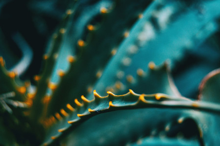 Leaf with green thorns of an aloe vera